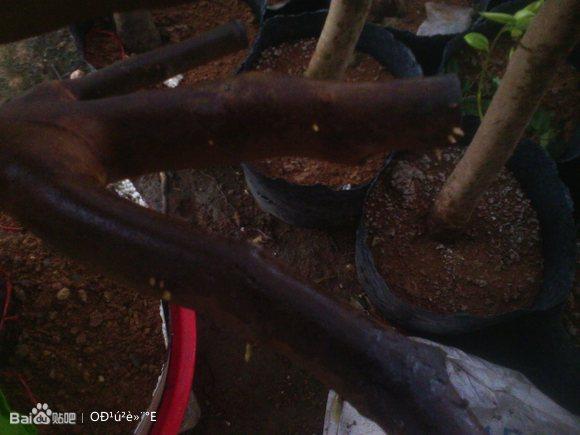 油茶树的移植与嫁接茶花