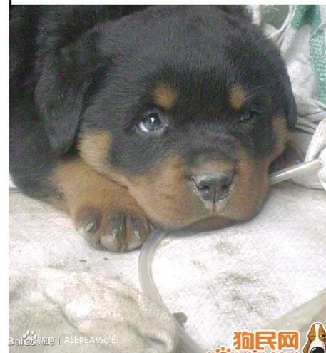 世界各犬类的打斗排名 藏獒高清图片