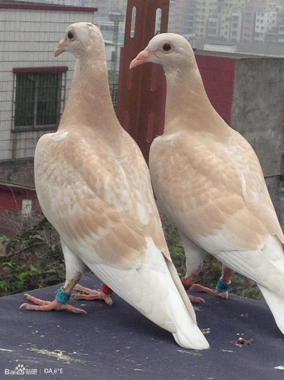 鸽子品种大全图片,鸽子怎么分公母,锁子黄金甲图片