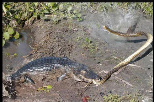 组图 水蚺vs凯门鳄图片