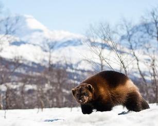 对于北极动物,我们最熟悉的自然是北极熊,其实,在北极还有高清图片