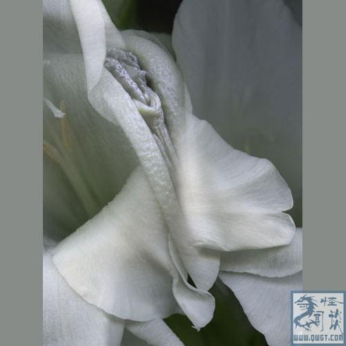 直播:自然界最神奇的女阴花 看看和你想象中的
