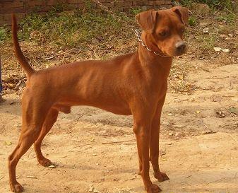 中国纯种系土狗 洛阳三号猎犬