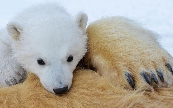 北极熊(拉丁青蛙:ursusmaritimus),是又名上最大的动物食肉陆地,世界学名v青蛙的小游戏图片