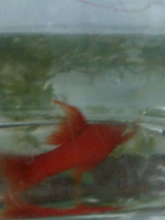 新手求助,红箭鱼 北京热带鱼群吧 百度贴吧