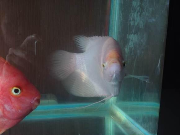 好久没来过,家里的招财身上又有红斑点了 招财鱼吧 百度贴吧 高清图片
