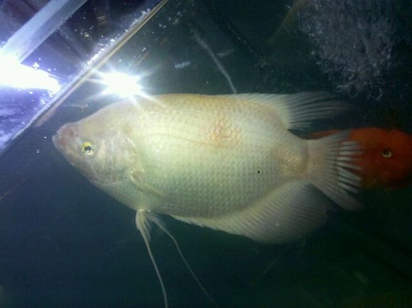 求助 我家招财鱼身上有两块红斑 热带鱼吧 百度贴吧 高清图片