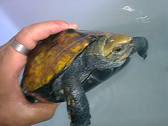 常见淡水龟种类的介绍