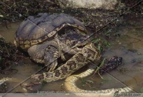 传辽宁挖出蟒蛇精-辽宁大蟒蛇 蟒蛇吃人 9米长巨蟒生吞老虎图片