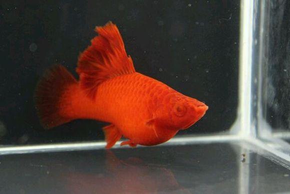 自家繁殖的高鳍菊花红箭鱼 热带鱼吧 百度贴吧