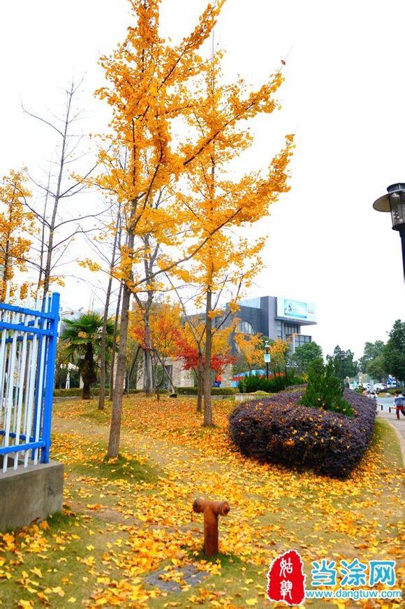 树叶,一样可以很美丽,实拍当涂襄城明珠的银杏树叶,美轮美奂.