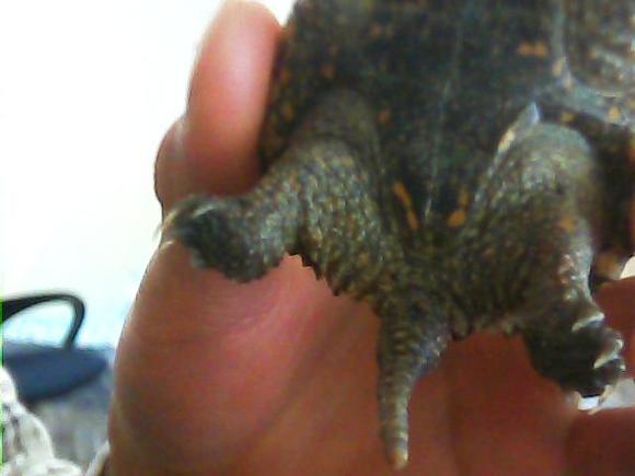 鳄龟怎么分公母图片