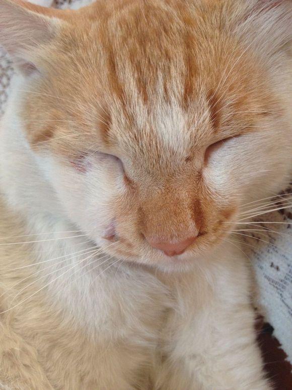 求助,我家猫咪被人打了,哦不好意思,是被猫打了,鼻青脸肿图片