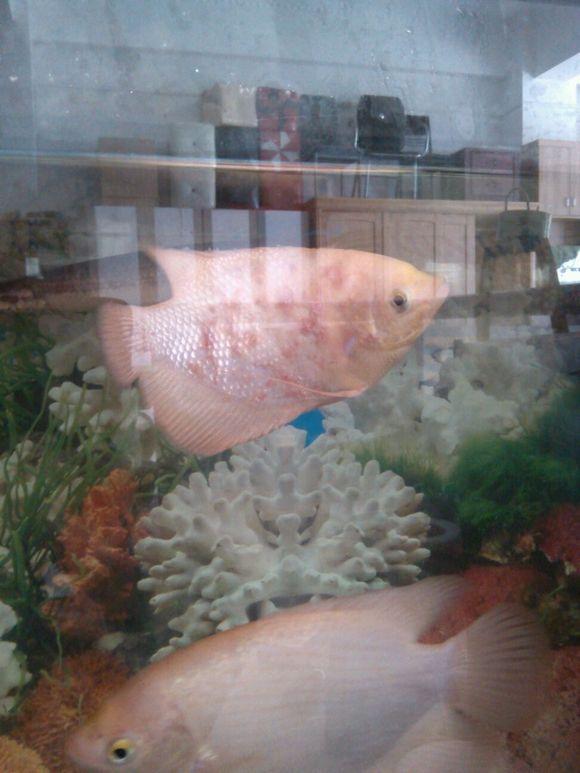 招财鱼身上红斑是怎么回事 大神帮忙看看 招财鱼吧 百度贴高清图片