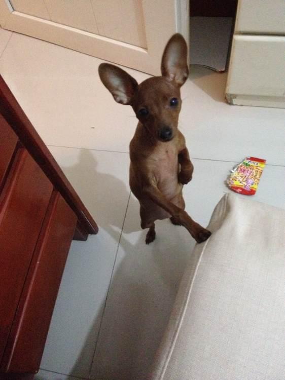 关于小鹿拉尿的问题 小鹿犬吧