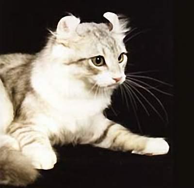 卷耳猫美图 卷耳猫吧
