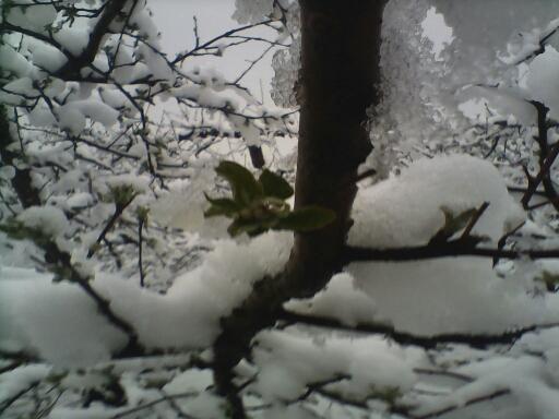 刚发芽的蔷薇花嫩绿的叶子被白雪包裹着漏红的桃花-下雪了,压弯了图片