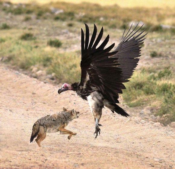 不是说秃鹫只吃死尸不吃活物吗?肉垂秃鹫活吃