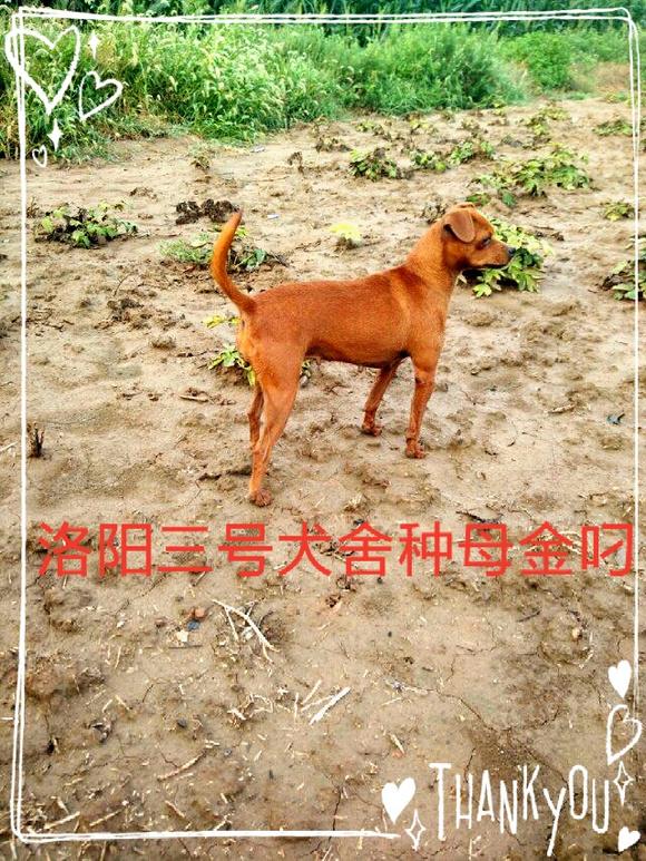 洛阳三号小猎犬 本土猎犬 中国最有影响力的猛犬网站