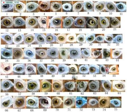 献上最全的画眉眼水图谱-画眉画眼jpg大全 画眉画眼2016 继续学习 画