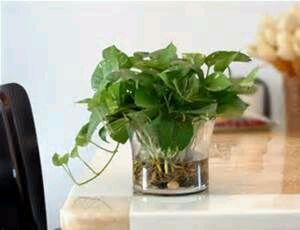 洗手间的门角摆放或者悬挂一盆绿箩之类的藤蔓植物,可以有效高清图片