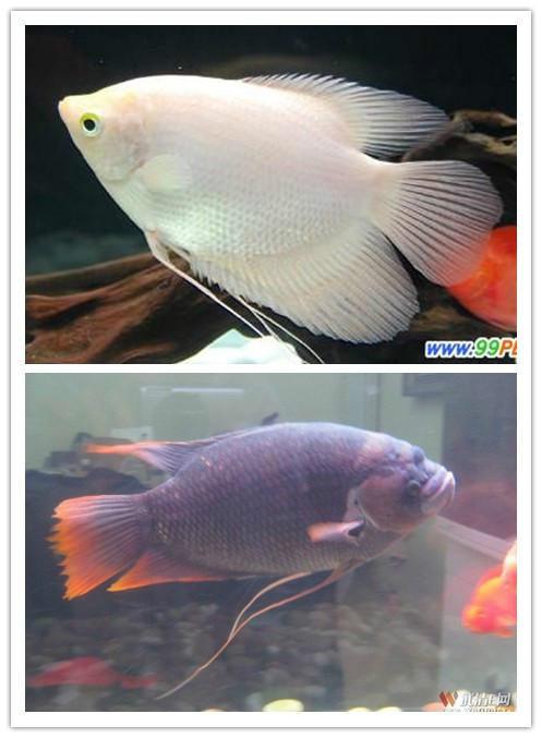市面上最常见的热带鱼 中大型鱼 高清图片