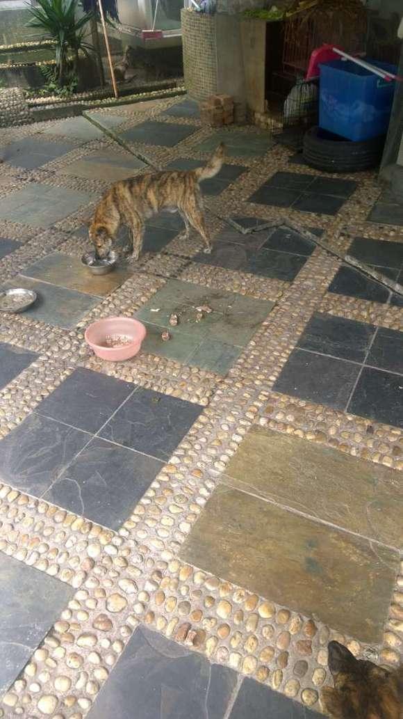 虎斑犬 三年磨一剑 虎斑犬提纯