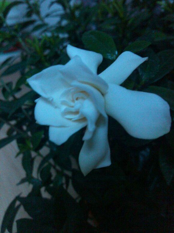 开花了吧,打开灯后,果然一朵小花悄然绽放.仅仅一朵满屋芳香高清图片