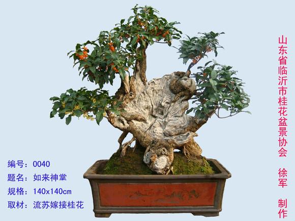 中国桂花盆景