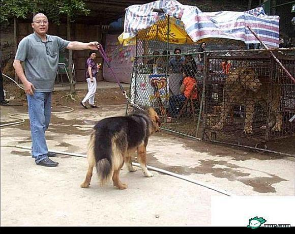 藏獒vs狮子_德国牧羊犬中国藏獒看到狮子的反应