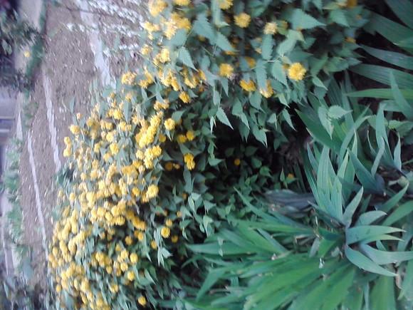 浸泡药用小米草或母菊花