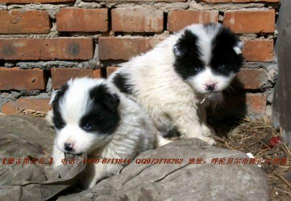 【图片】【蒙古黑白花牧羊犬】【哈萨克牧羊犬吧】 百度贴吧