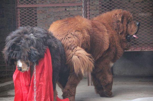 红袍搞定今年提前预定配种的一个发情最晚的母狗