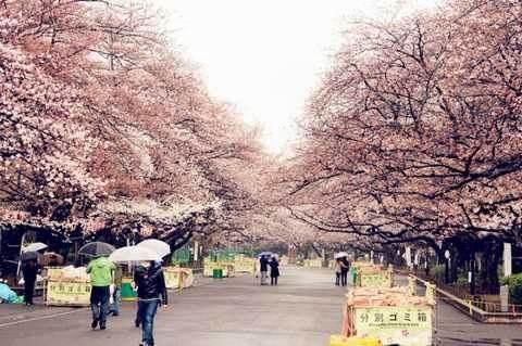 山本一夫本的樱花节又到了