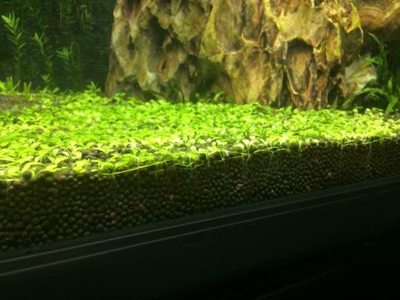 新手黑陶粒种矮珍珠草皮 草缸吧 百度贴吧 高清图片