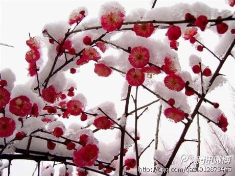 雪花飘飘扮冬装,冰晶挂树绽寒香.梅花傲雪寒风绽,千树难敌梅花狂