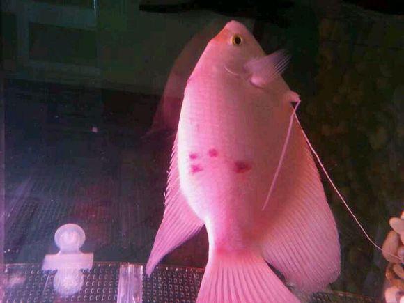招财身上红斑是什么病 怎么治 感激万分 招财鱼吧 百度贴吧 高清图片
