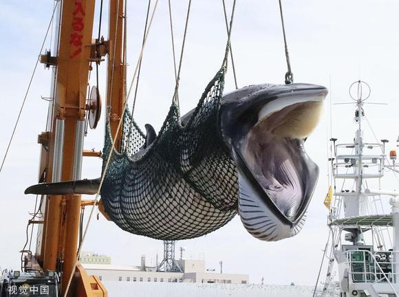 日本捕1430吨鲸肉,下月上市开售【杨超越吧】