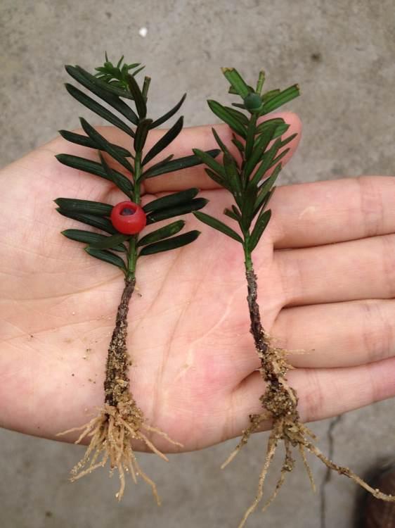 曼地亚红豆杉的公母区分图片