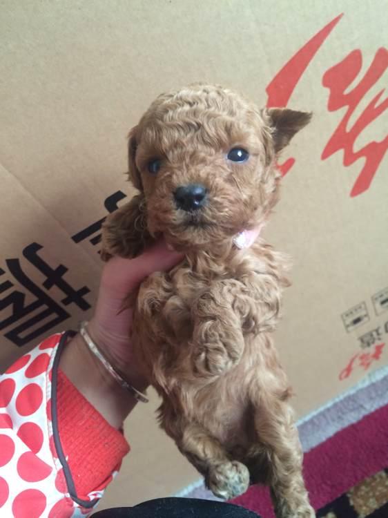 泰迪小奶狗_有没有喜欢小泰迪的 家养的 小奶狗