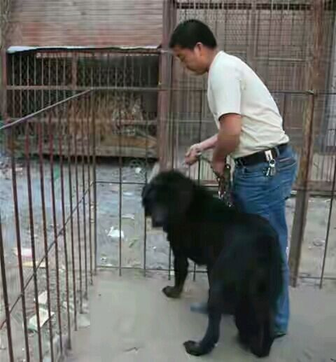 藏獒大战狮子老虎 李毅吧高清图片