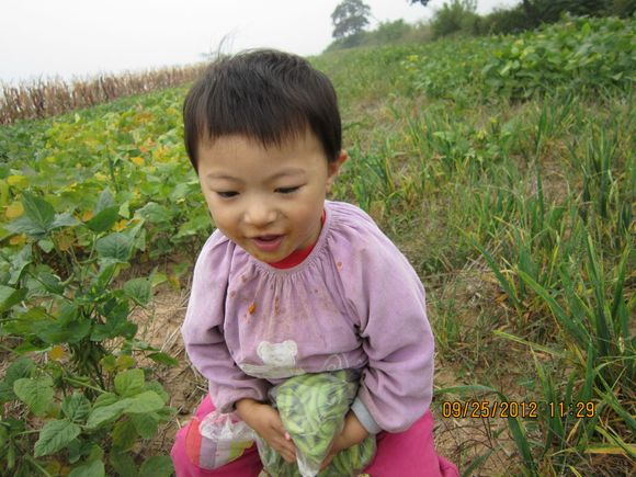 娃娃便便好后,就回去捡柿子,地上已掉了好多,有的是摇晃掉的,有图片