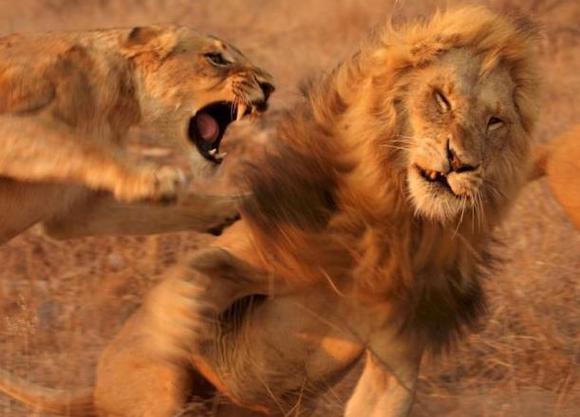 自然传奇狮子与鬣狗 图片 自然传奇猎狗和狮子 人与自然鳄鱼与狮子
