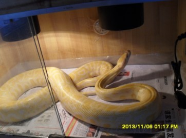 蟒蛇吃美女 60年代人吧