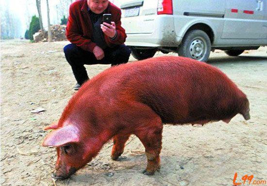 """安徽蒙城县石山村有头""""励志猪""""用两条腿走路图片"""