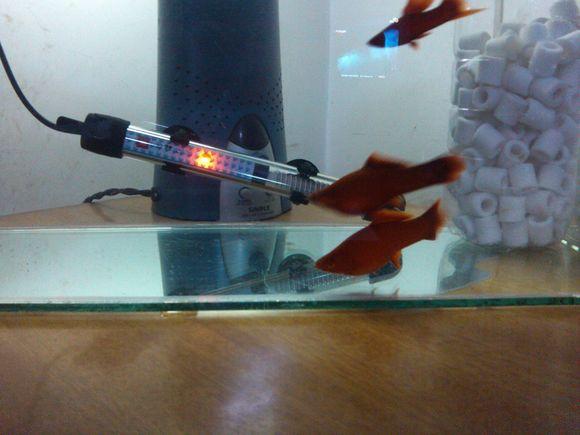 红箭繁殖 怎么搞 还有几张龙的照片 进来看看 热带鱼吧 百