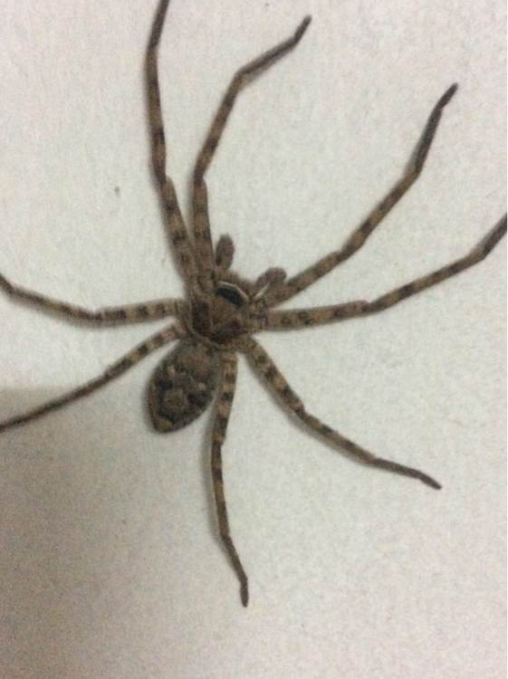 常见 的 水 蜘蛛 吗 megadolomedes 家 中 常见 蜘蛛 家里 ...