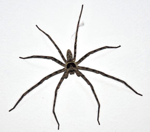 家里发现超大蜘蛛,怎么办??_利物浦吧_百度贴吧