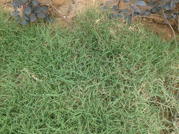 借楼,绿化带的草皮是啥品种?高清图片