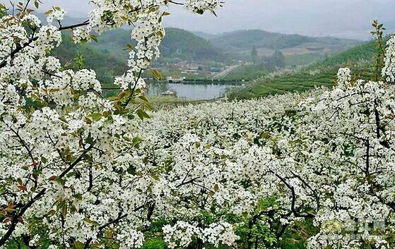 河北省魏县梨花节_周日有木有一起去魏县梨花节玩的呢
